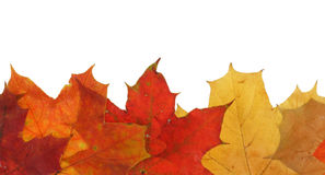 Maple leaves in line Stock Image