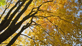 Maple leaves from low angle pan stock video footage