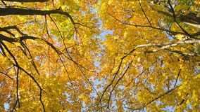 Maple leaves from low angle pan stock footage