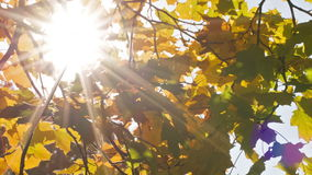 Maple leaves from low angle pan move sun stock video footage