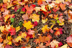 Maple leaves on a meadow Stock Photography