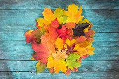 Maple Leaves Mixed Fall Colors on wooden Background Stock Images
