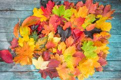 Maple Leaves Mixed Fall Colors on wooden Background Royalty Free Stock Photo