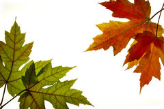 Maple Leaves Mixed Fall Colors Backlit 3 Royalty Free Stock Image