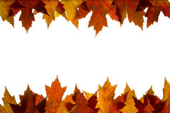 Maple Leaves Mixed Fall Colors Backlit 5 Royalty Free Stock Image
