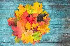 Maple Leaves Mixed Fall Colors on wooden Background Royalty Free Stock Image