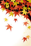 Maple Leaves: Momiji. Red, green, yellow maple leaves Stock Image