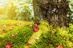 Maple leaves on moss Stock Photo