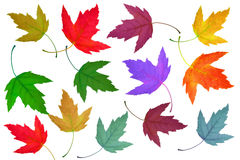 Maple leaves multi Royalty Free Stock Images