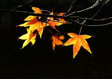 Maple leaves with nice background Stock Photos