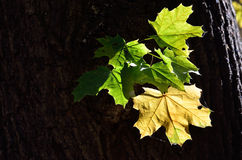 Maple leaves in the old tree Stock Image