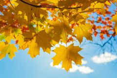 Free Maple Leaves On A Background Of The Blue Sky Stock Photos - 126849783