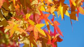 Maple leaves. Orange maple leaves in autumn stock video footage