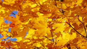 Maple leaves. Orange maple leaves in fall stock video