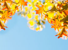 Maple leaves over the blue sky Royalty Free Stock Images