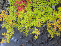 Maple leaves over stream in autumn Stock Photos