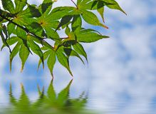 Maple Leaves Over Water Royalty Free Stock Photo