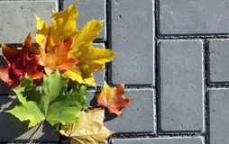Maple leaves on the pavement Stock Photography