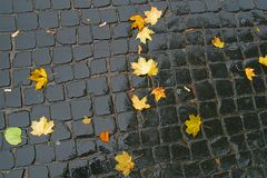 Maple leaves on pavement. Royalty Free Stock Image