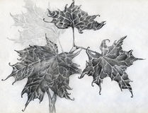 Maple leaves pencil sketch Stock Photo