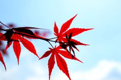 The red maple leaves and the blue sky royalty free stock photography