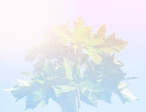 Maple leaves, pink and blue boho style background Royalty Free Stock Image
