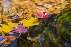 Maple leaves on the pond`s water. Red and yellow maple leaves on the green calming water in fall season Stock Photo