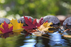 Maple leaves in pond. Yellow and red maple leaves on the pond with reflection of trees and sky Royalty Free Stock Photography