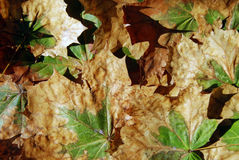 Maple leaves in premature autumn Stock Photo
