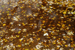 Maple leaves in a puddle. Yellow maple leaves in a puddle royalty free stock photo