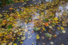 Yellow and red maple leaves in puddle under the rain. Maple leaves in puddle. Overcast day. Autumn motif Stock Photos