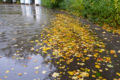 Yellow and red maple leaves in puddle under the rain. Maple leaves in puddle. Overcast day. Autumn motif Stock Image