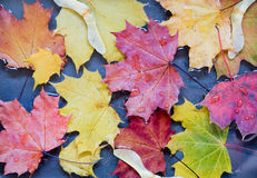 Maple leaves in a puddle Royalty Free Stock Images