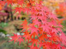 Maple leaves. Red maple leaves in autumn stock image