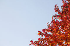 Maple-leaves Stock Image