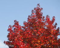 Maple-leaves Royalty Free Stock Photo