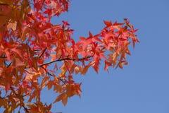Maple-leaves Stock Photo