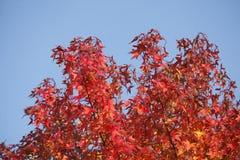 Maple-leaves Stock Photos