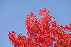 Maple-leaves Royalty Free Stock Images