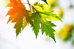 Maple leaves red and green Stock Image