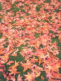 Maple leaves season change autumn Royalty Free Stock Photography