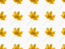 Maple leaves. Set of maple leaves isolated on white royalty free stock image
