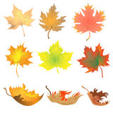 Maple leaves. Set of maple red and yellow leaves Royalty Free Stock Photography
