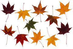 Maple leaves set Stock Photography