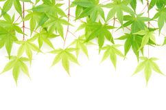 Maple leaves side by side Stock Photo