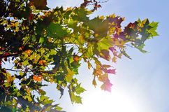 Maple Leaves in the Sky Royalty Free Stock Photography
