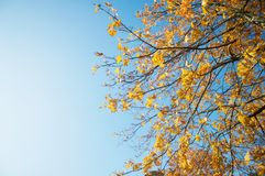 Maple leaves and the sky in Sweden stock images