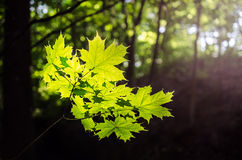 Maple leaves in spring Royalty Free Stock Photos