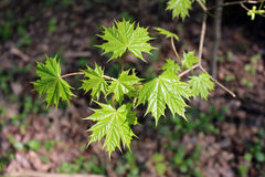 Maple leaves in spring Stock Images