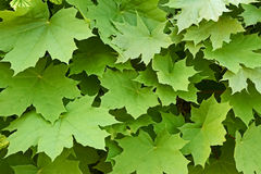 Maple leaves in springtime Royalty Free Stock Images